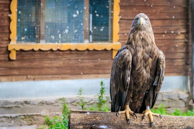 Pájaro águila real en el zoológico. un pájaro en cautiverio. zoológico de animales.