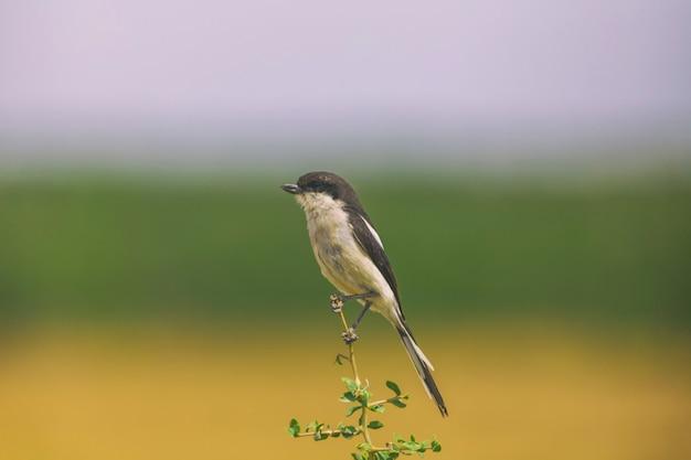 Pájaro de alcaudón fiscal posado en una rama en el parque nacional de sudáfrica