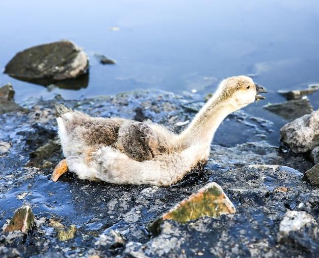 Pájaro atrapado en agua contaminada con alquitrán. animales moribundos en desechos industriales. ríos y océanos sucios con petróleo. pequeño ganso en peligro. problema ambiental. humano dañino. desastre ecológico.