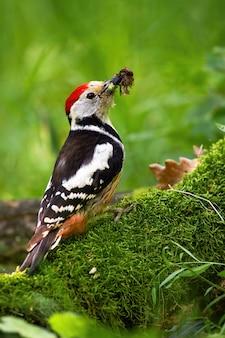 Pájaro carpintero manchado medio con pico lleno de insectos sentado sobre un tocón