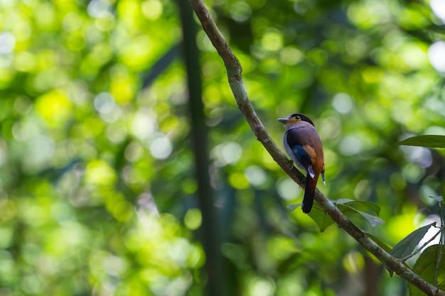 Pájaro de colores pecho de plata (serilophus lunatus) en la rama de un árbol