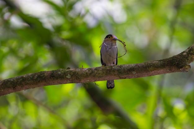 Pájaro colorido broadbil de pecho plateado