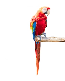 Pájaro colorido de los loros aislado en el fondo blanco. marcaw azul y rojo en las ramas.