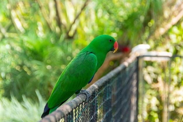 Pájaro conocido como periquito de anillos rosas