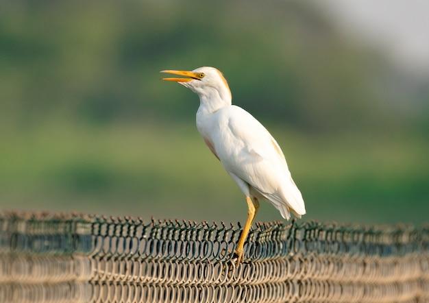 Pájaro garceta ganadera en una valla metálica