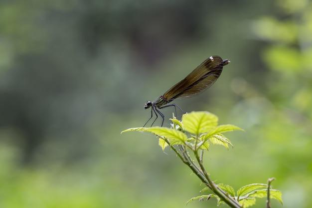 Pájaro hembra cobre demoiselle