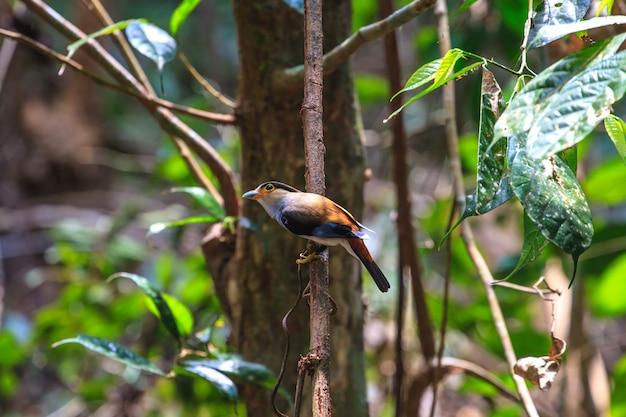 Pájaro hermoso de broadbill plateado (serilophus lunatus) en una rama