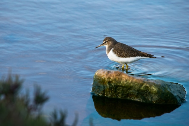 Un pájaro lavandera común, de pico largo marrón y blanco, caminando a través de aguas salobres en malta