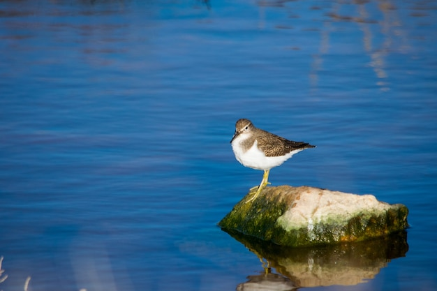 Un pájaro lavandera común, de pico largo marrón y blanco, descansando sobre una roca en agua salobre en malta