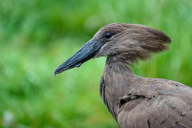 Pájaro marrón oscuro en la naturaleza