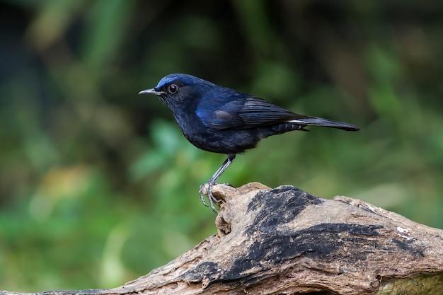 Pájaro en la naturaleza, petirrojo de cola blanca