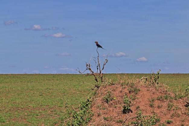 Pájaro en safari en kenia y tanzania, áfrica