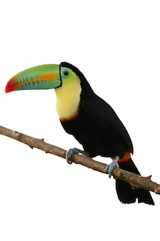 Pájaro de tucán colorido en blanco