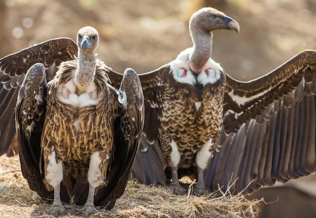 Los pájaros depredadores están sentados en el suelo kenia tanzania safari áfrica oriental