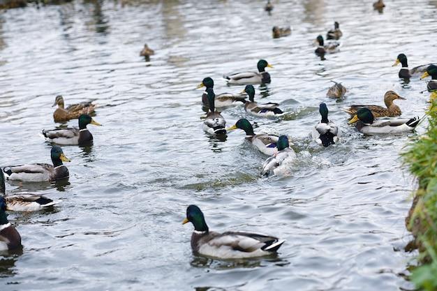 Pájaros en el estanque. una bandada de patos y palomas junto al agua. aves migratorias por lago.