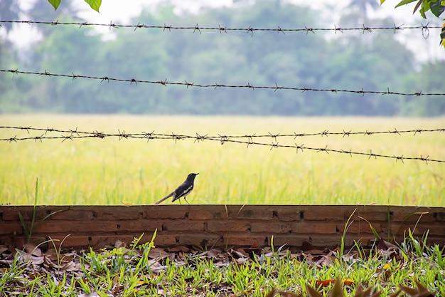 Pájaros en la pared de ladrillo con el campo de arroz borroso de arroz del fondo de alambre de púas.