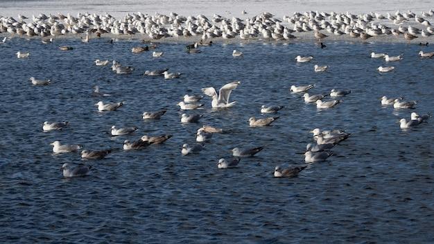 Pájaros en la primavera. la población de cormoranes en el agua azul en invierno.