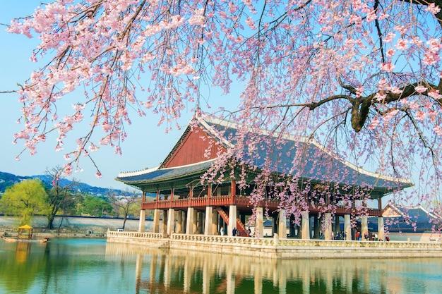 Palacio gyeongbokgung con flor de cerezo en primavera, corea.