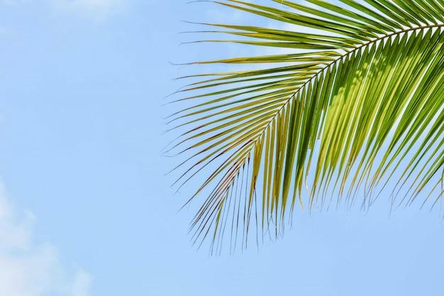 Palma de coco deja en el cielo azul