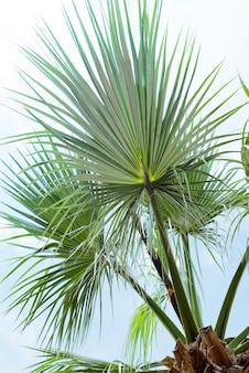 Palma de hojas de palma livistona rotundifolia contra el cielo azul.
