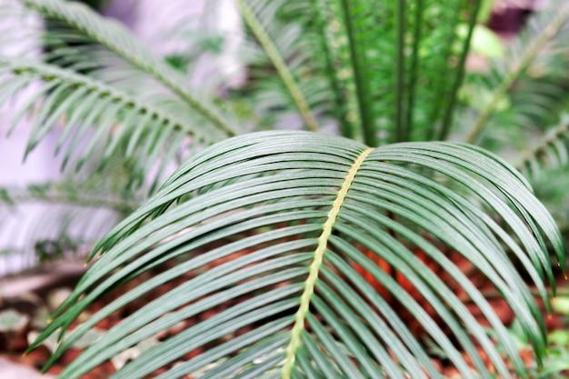 Palma de planta de interior. joven elegante hojas verdes de palma doméstica en el interior. plantas tropicales y arboles.