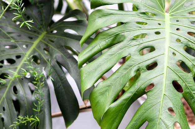 Palma de planta de interior. verdes hojas de monstera en el interior. plantas tropicales