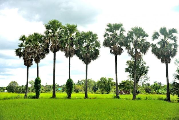 Palmas de azúcar en la naturaleza de arroz de granja sobre fondo de cielo
