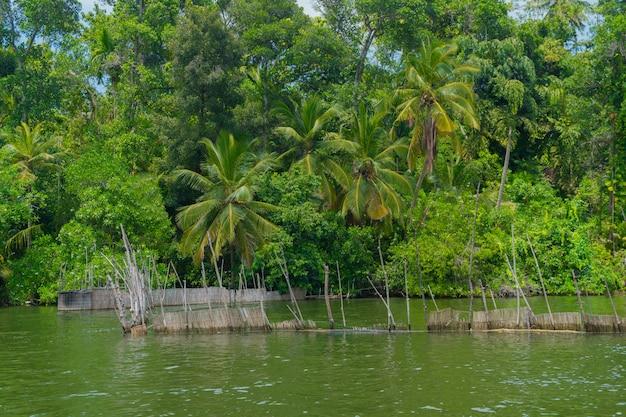 Palmas de coco en la orilla del río.