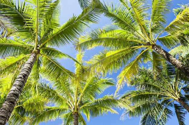 Palmas de coco