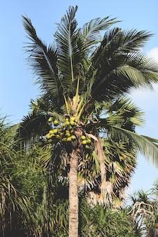 Palmera de coco y fruta de coco en el jardín tropical