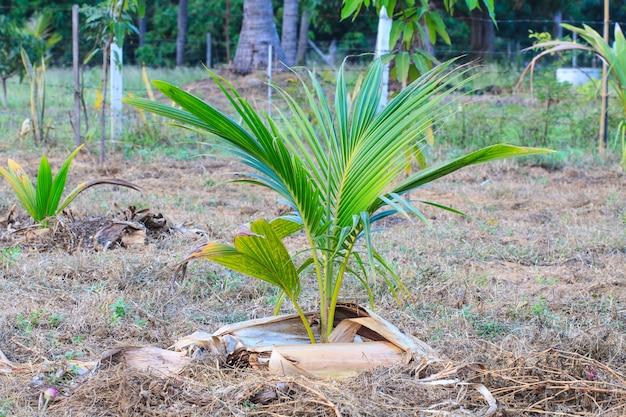 Palmera con coco