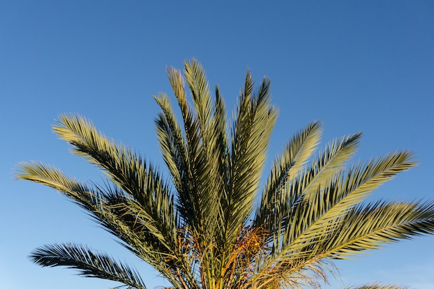Palmera contra el cielo azul