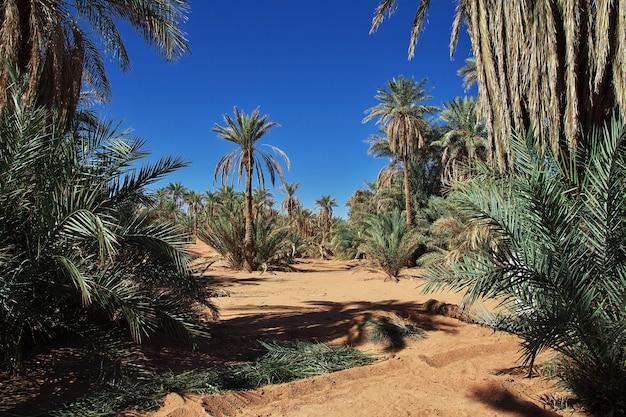 La palmera datilera en la ciudad abandonada de timimun en el desierto del sahara, argelia