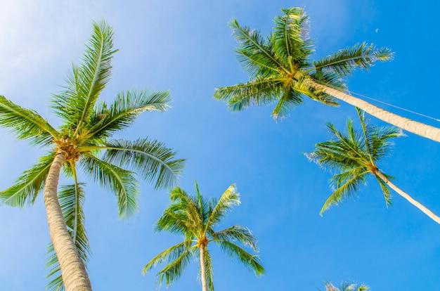 Palmeras de coco contra el cielo azul