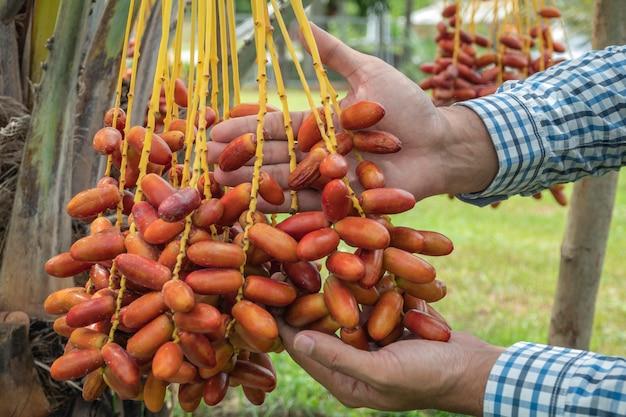 Las palmeras datileras que tienen un lugar importante en la agricultura avanzada del desierto. palmera datilera. frutas crudas de la palma datilera que crecen en un árbol.