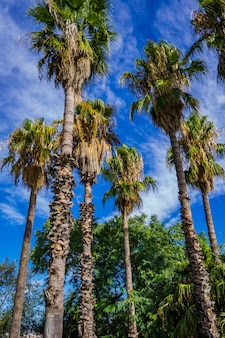 Palmeras tropicales en barcelona, españa