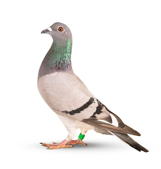 Paloma mensajera pájaro aislado blanco