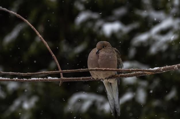 Paloma sentada sobre una rama delgada de un árbol bajo la nieve.