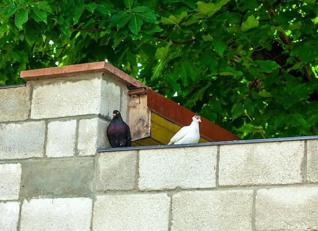 Palomas blancas y negras en una pared de ladrillos en una ciudad europea
