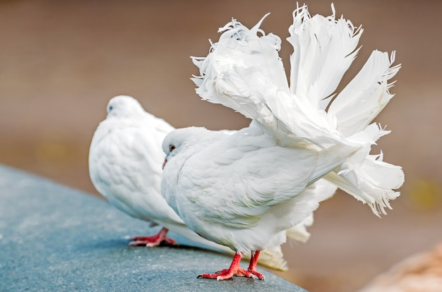 Palomas decorativas blancas con una hermosa cola exuberante.