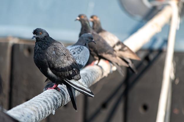 Las palomas sentado en barco guindaleza. cuerda gruesa atada al amarre
