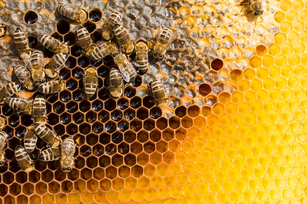 Panal de miel con abejas