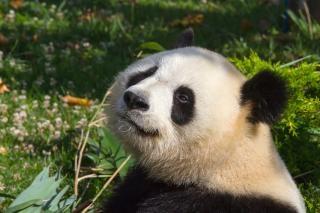 Panda gigante animal de zoológico china