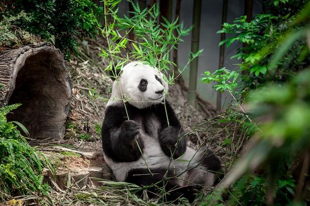 Panda gigante hambriento