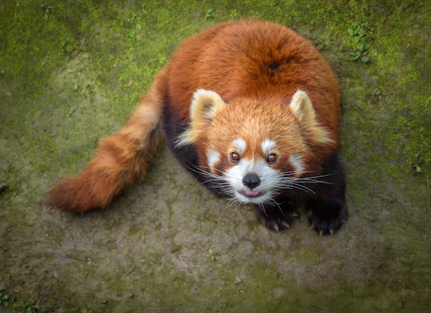 Panda rojo mira hacia arriba