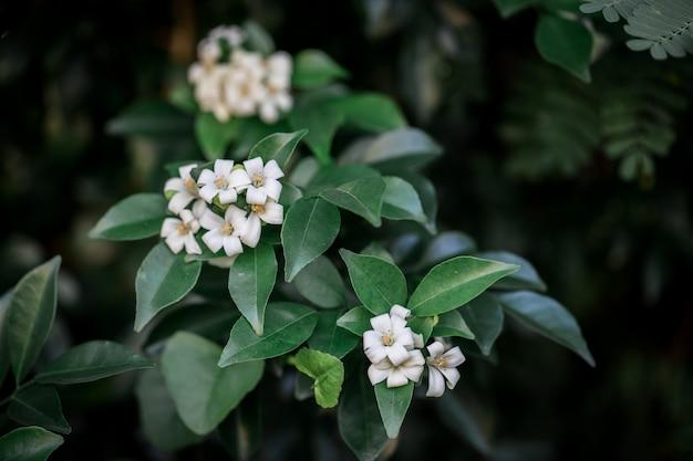 Paniculata murraya blanca