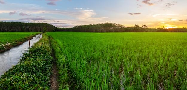 Panorama de campo de arroz con amanecer o atardecer