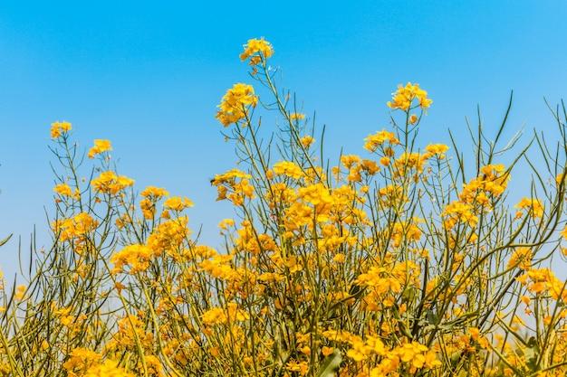 Panorama del campo floreciente, violación amarilla