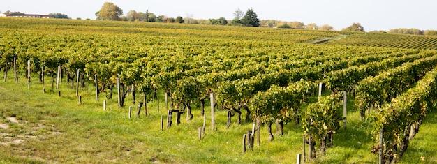 Panorama de filas de viñedos en otoño en el área de burdeos