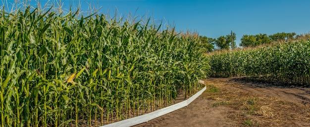 Panorama de tierras de cultivo con dos campos circulares de cultivos: maíz y girasol